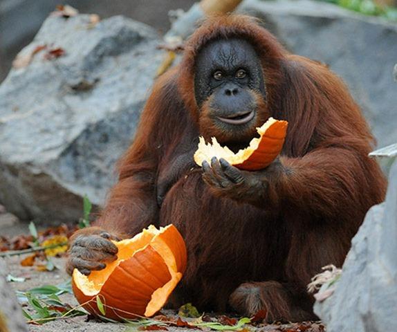 Orangutan eating watermelon